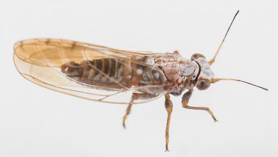 Psyllid - Trioza obtusa