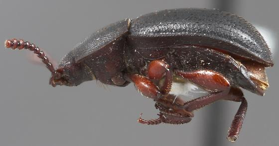 Notibius puberulus
