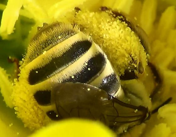 Chimney Bee Mouthparts & Body - Diadasia - female