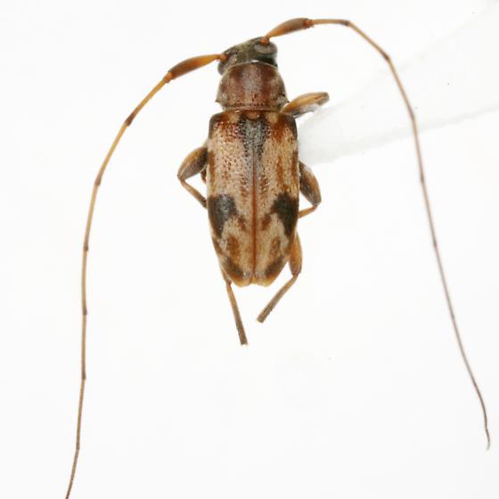 Urgleptes foveatocollis (Hamilton) - Urgleptes foveatocollis