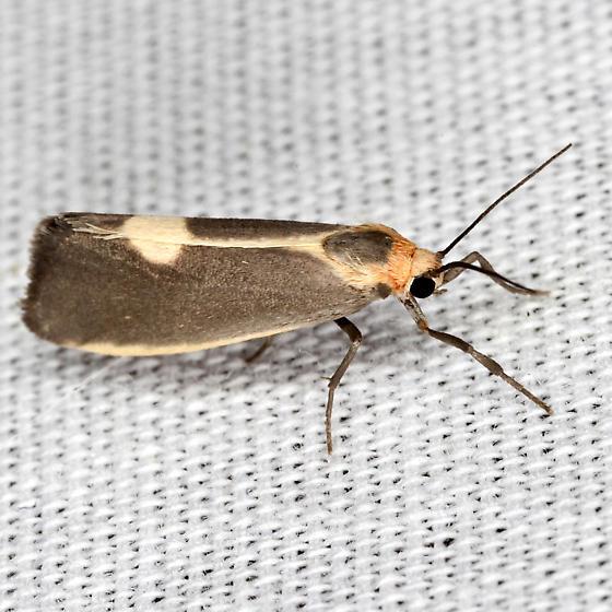 Lead-colored Lichen Moth - Hodges #8067 - Cisthene plumbea