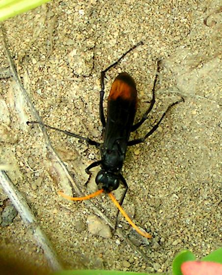 Spider Wasp - Entypus unifasciatus - female