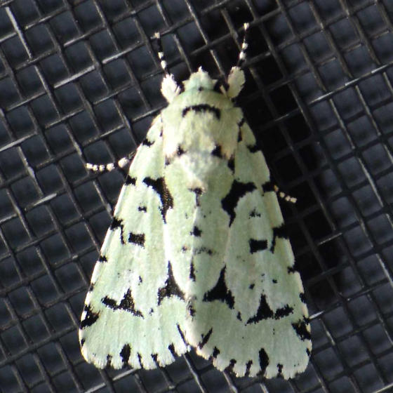 Green Marvel - Acronicta fallax