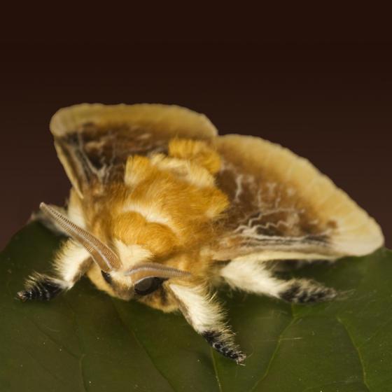 light brown Tussock Moth  - Megalopyge crispata
