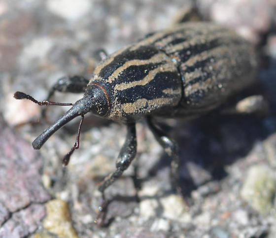 weevil - Sphenophorus australis