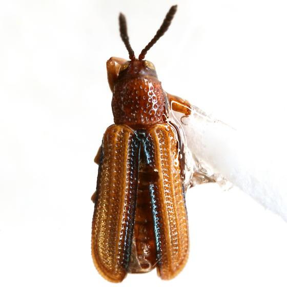 Anisostena gracilis (Horn) - Anisostena gracilis