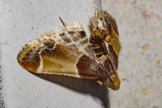 unusual posture - Pyralis farinalis