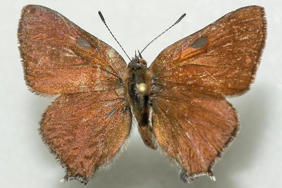 Satyrium saepium chlorophora - Satyrium saepium - male