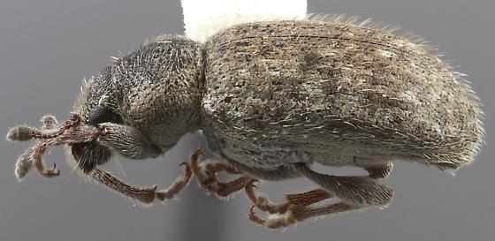 Mesagroicus hispidus - Mesagroicus