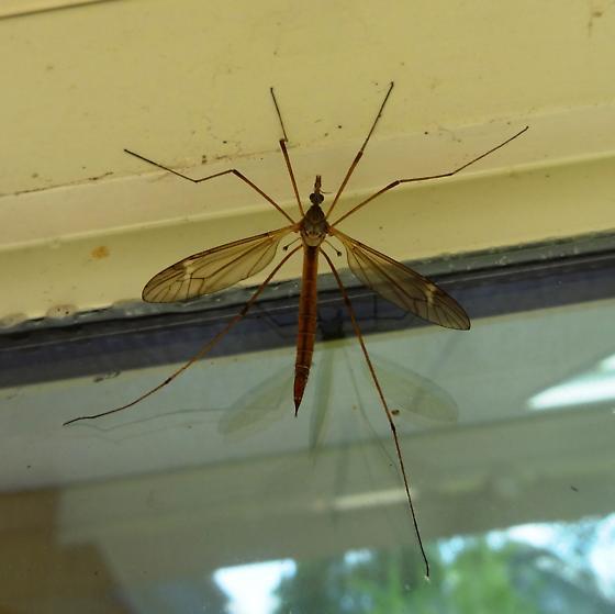 fly - Tipula - female