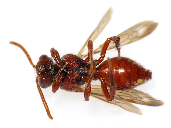 Red Bee - Nomada - female