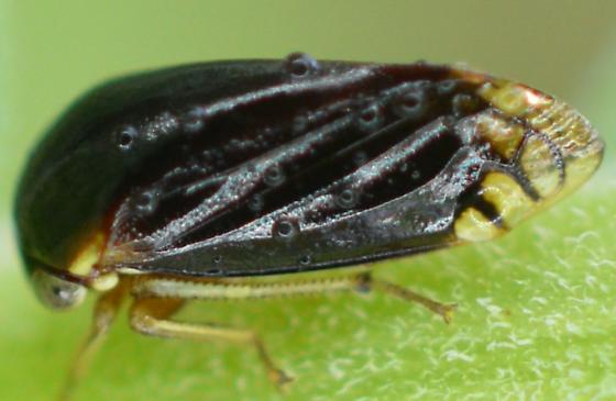 Auchenorrhyncha found in Center Valley Pennsylvania - Acutalis tartarea