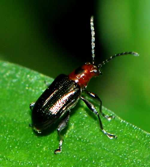 red and black beetle - Oulema sayi