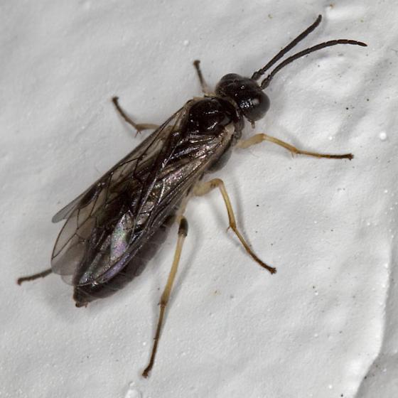 Sawfly IMG_0362 - Ametastegia pallipes