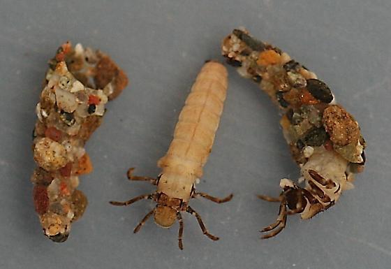 Neophylax sp. - voucher specimens, in alcohol - Neophylax