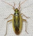 Two-spotted Grass Bug - Stenotus binotatus