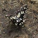 Black and off white - Thyris sepulchralis
