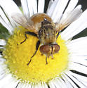 fly on fleabane - Gymnoclytia - male