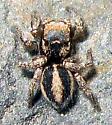 Jumping Spider  - Habronattus calcaratus