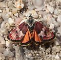 Beautiful moth - Gyros muirii