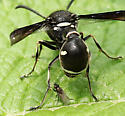 Wasp and Fly  - Eumenes fraternus