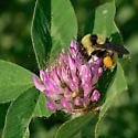 Bee - Bombus fervidus - female