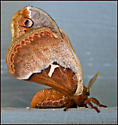 Callosamia angulifera