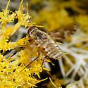 Villa species? - Poecilanthrax willistonii