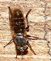 Fly - Atomosia puella