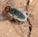 Red-eyed bombyliid - Aphoebantus mus - male