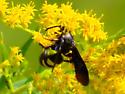 Yellow-barred black wasp - Scolia bicincta
