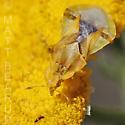 Ambush Bug - Phymata species-one-west