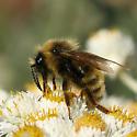 Bumble bee - Bombus insularis