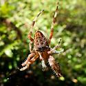 Spider - Araneus diadematus - female