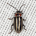 Leaf Beetle - Disonycha pensylvanica