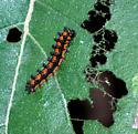 Edited: Checkerspot Caterpillar - Chlosyne gorgone