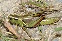 Two-Striped Grasshopper - Melanoplus bivittatus - female
