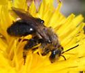 Bee on dandelion - Andrena