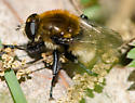 bee mimic syrphid fly - Merodon equestris