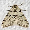 Phigalia strigataria (Minot) - Phigalia strigataria - male