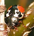 Calligrapha beetle - Calligrapha rowena