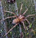 spider sp? - Tegenaria domestica