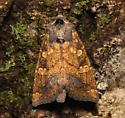 Papaipema, dorsal, released - Papaipema cataphracta