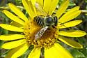 Megachile brevis ? - Megachile parallela - female