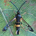 A Clearwing Moth - Synanthedon scitula