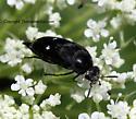 Tumbling Flower Beetle - Mordella quadripunctata