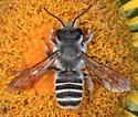 1746 - Megachile