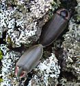 Fireflies - Ellychnia corrusca - male - female