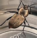 Beetle? - Embaphion