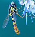 Syrphidae Genus Sphaerophoria Male - Sphaerophoria - male